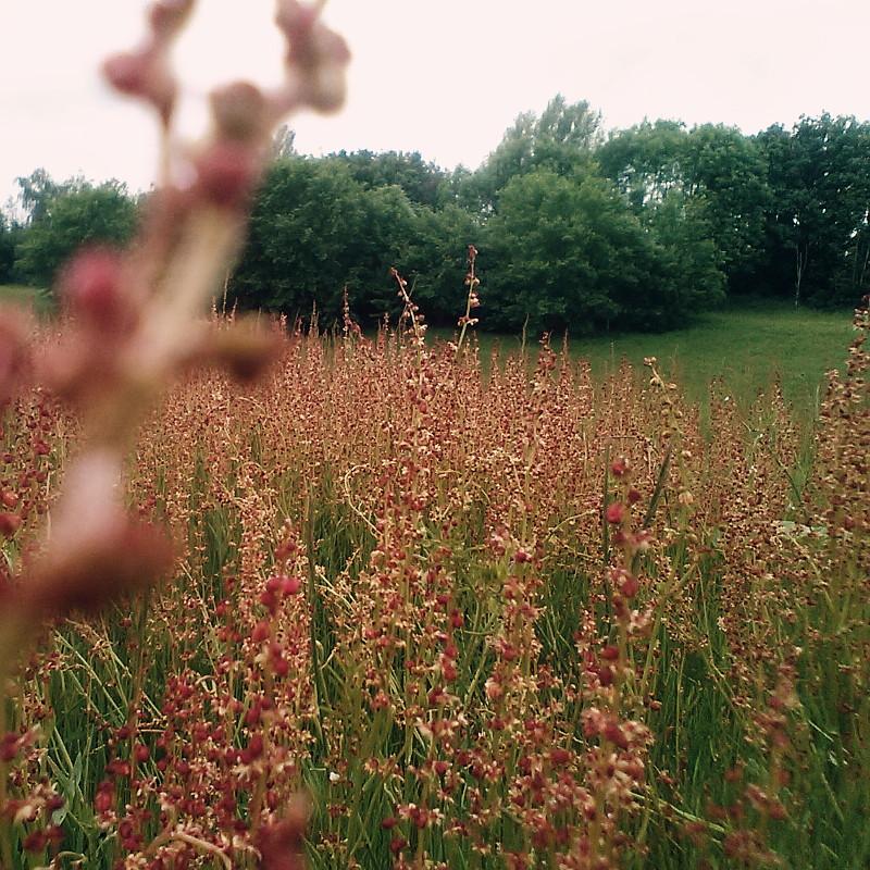 Vue plus large sur la prairie que l'on découvre vallonnée, les arbres en bordure du bois, et les épis de fleurs vieux rose en petites clochettes