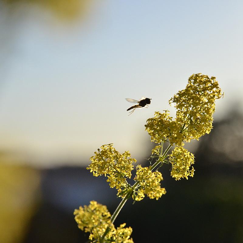 Un syrphe en approche d'une fleur jaune en épi