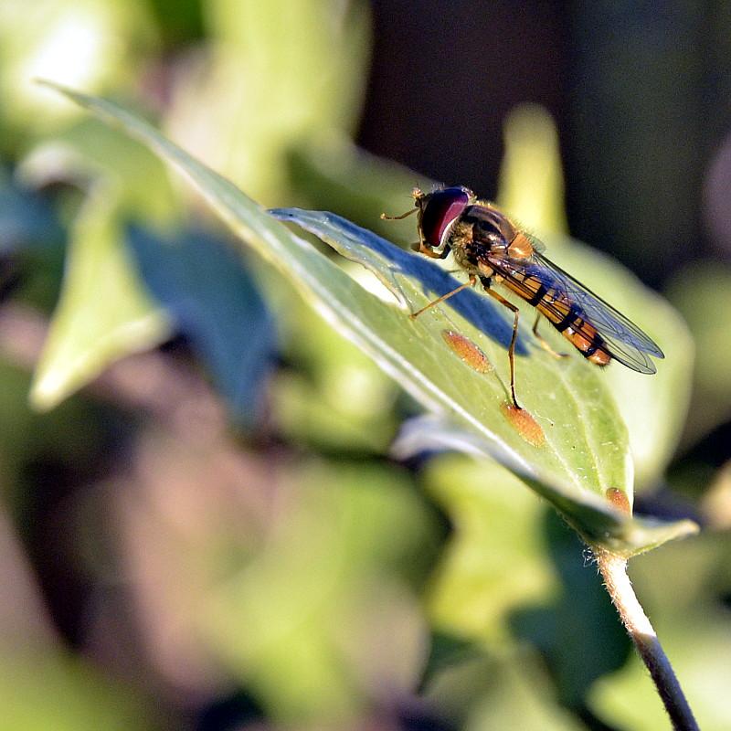 Un syrphe posé sur une feuille de lierre dépose un suc de pollen