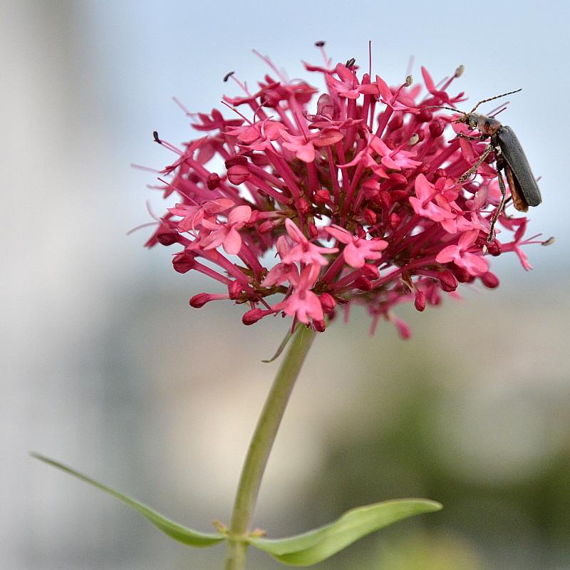 Un coléoptère butine une fleur fuschio en forme de pompon