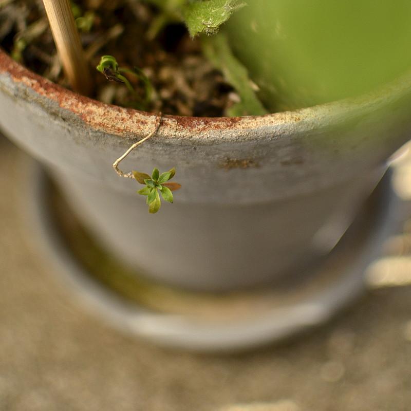 Dépasse d'un pot en terre cuite peint en gris clair une toute petite étoile de feuilles vertes et légèrement roussies au bout d'une arabesque ligneuse