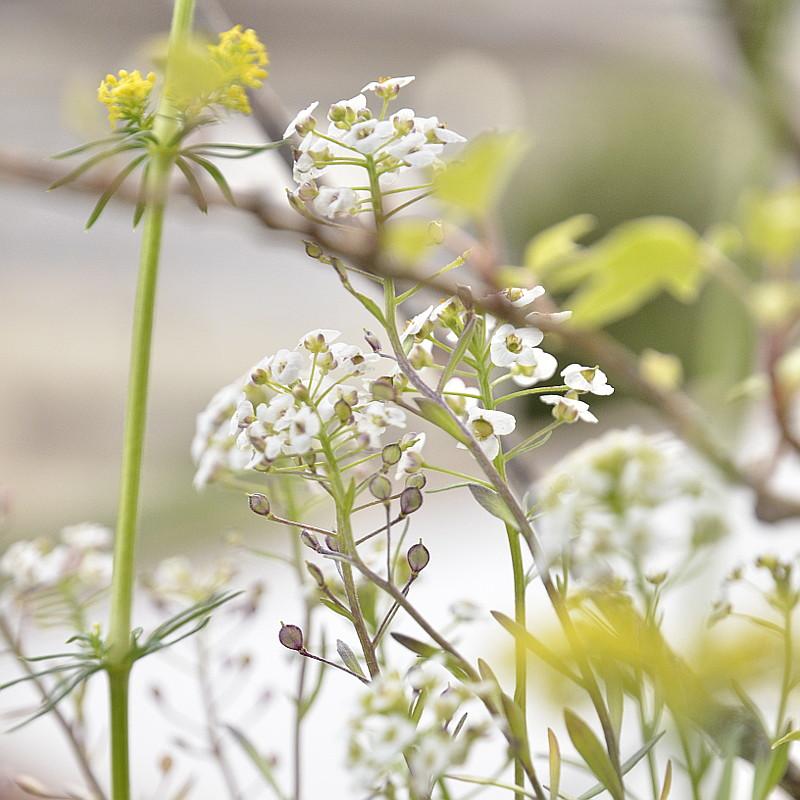 De rondes et petites fleurs blanches en cyme surplombent d'anciennes qui montent en graines