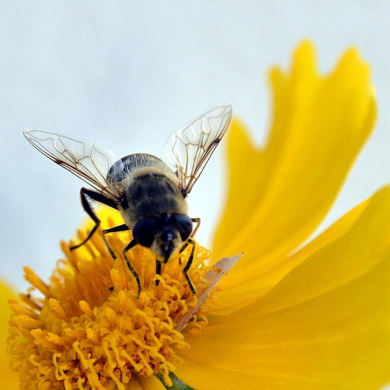 Focus sur la géométrie de la structure des ailes d'une abeille butinant une large fleur jaune