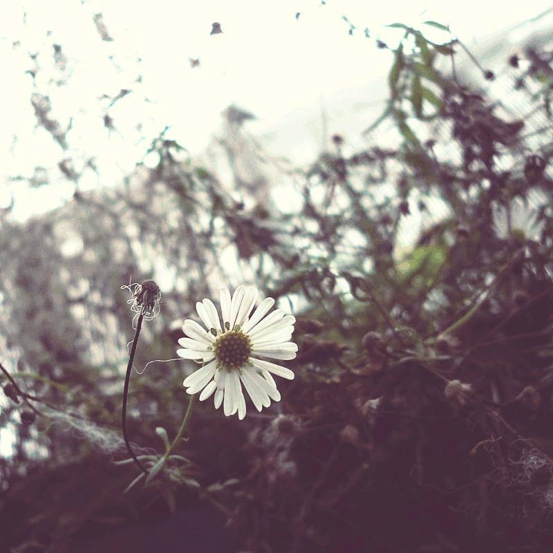 Sur fond d'herbes sèches en fouillis, une fleur blanche à longues pétales à côté d'une autre tout à fait fânée