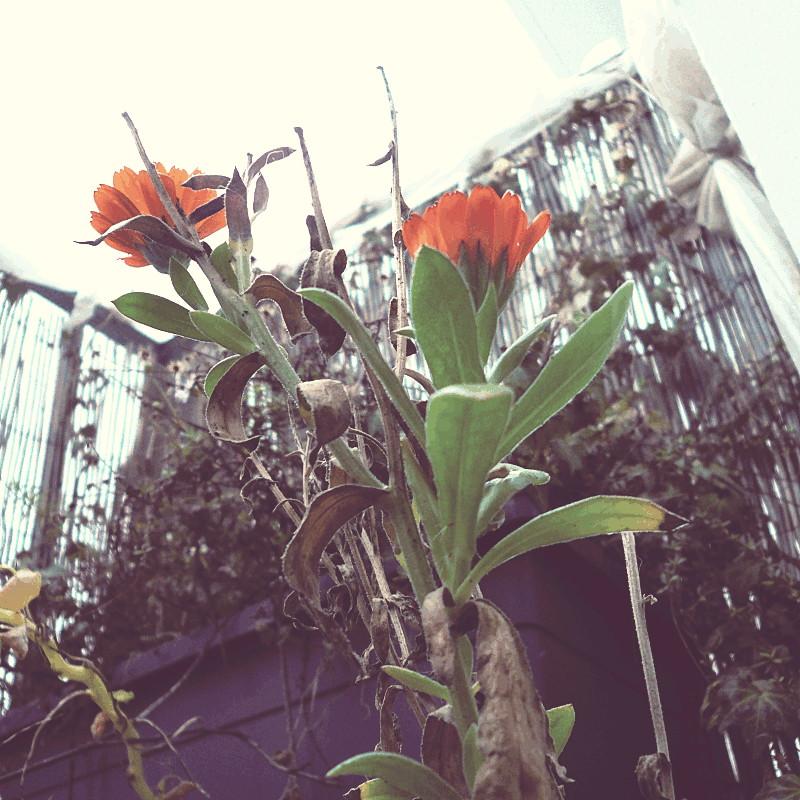 Vues du dessous les dernières fleurs de souci de l'année près d'une jardinière de plantes fânées