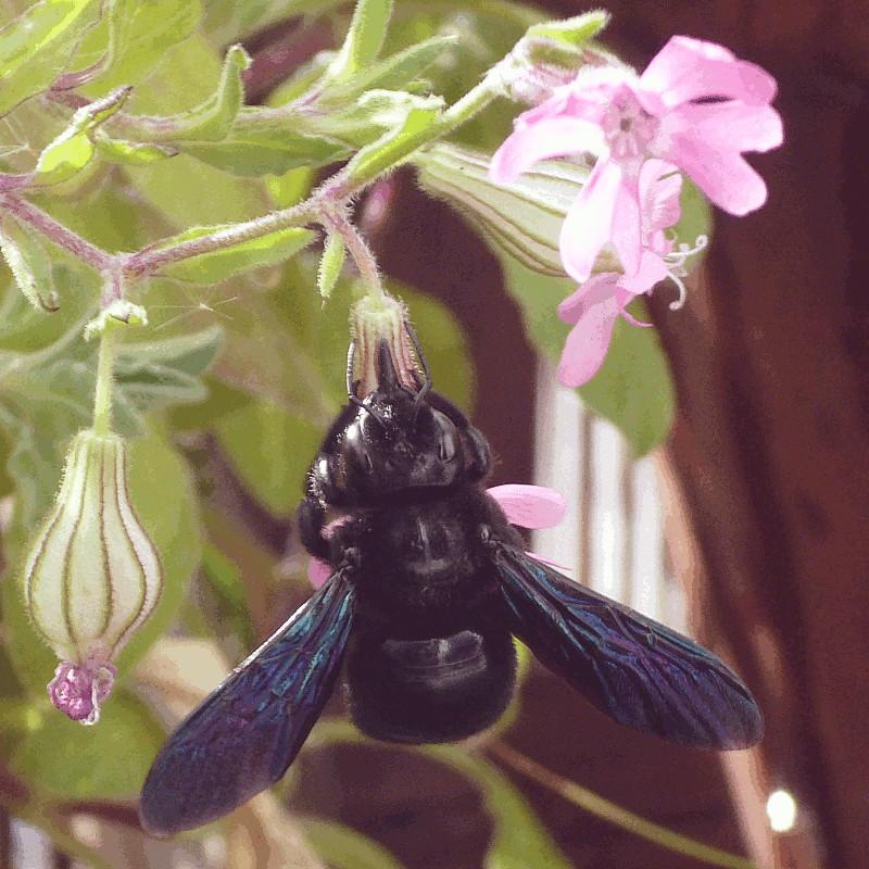 Gros plan sur un bourdon noir aux ailes bleutées sirotant sous le soleil le suc de fleurs offrant un vestibule dodu cerné de pétales roses