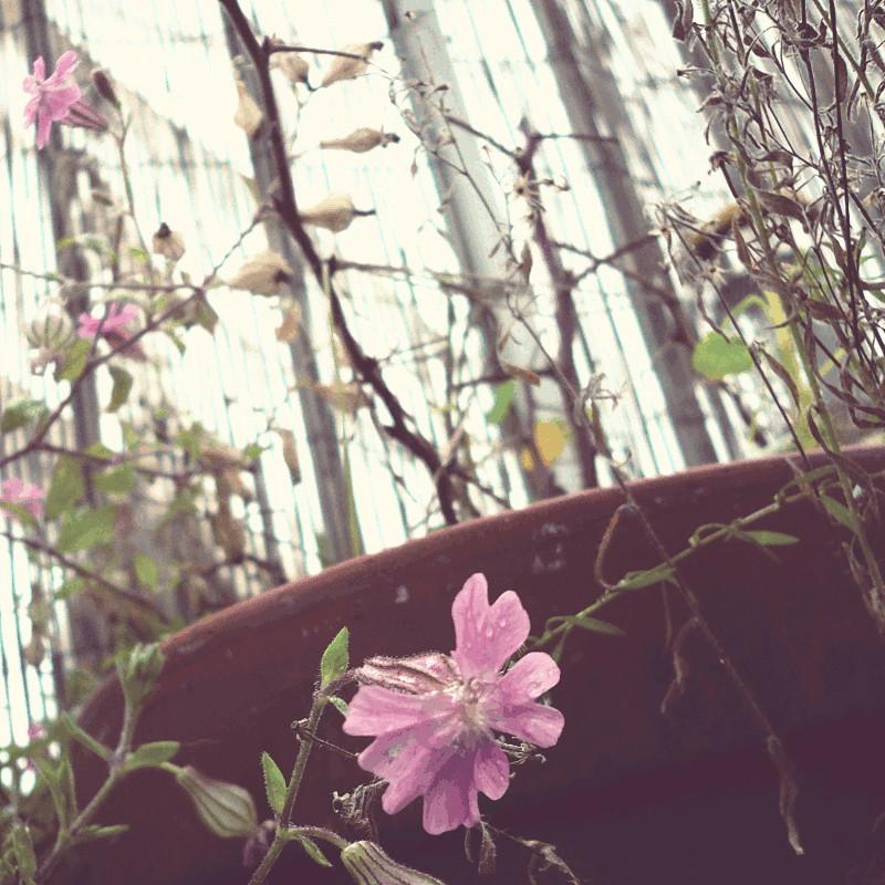 Les mêmes fleurs roses légèrement flétries sous une lumière automnale