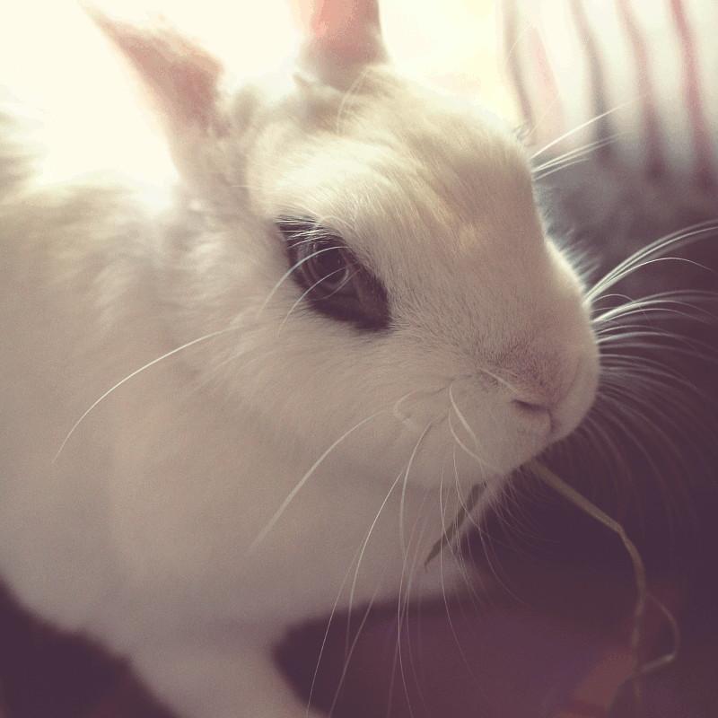 Une lapine hermine mange un brun de foin en regardant l'objectif d'un oeil bleu cerné de noir