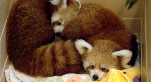 Pandas chiots Spark et Ember au zoo de Knoxville