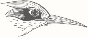 Oiseau-tempête