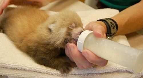 Panda nourrisson
